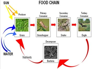 Food Chains & Food Webs POWERPOINT  4th Grade Science