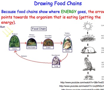 Food Chains - Lesson Presentation, Extensive & Fun Activities, Video Links