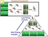 Food Energy Pyramids - Lesson Presentation, Interactive Slides, Video Links