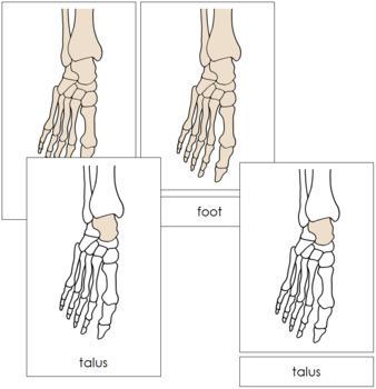 Foot Nomenclature Cards