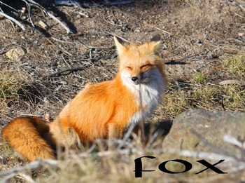 Fox (photos for commercial use)