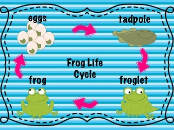 *Freebie Frog Life Cycle Poster
