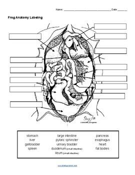 Frog Anatomy Labeling (KEY)