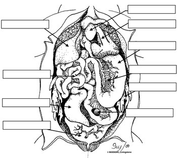 frog anatomy diagram labeled frog anatomy review labeling  key  by biologycorner tpt  frog anatomy review labeling  key  by