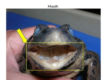 Frog Dissection Pictures with labels