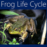 Frog Life Cycle Activity | Frog Life Cycle PowerPoint | Frogs Power Point