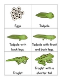 Frog Life Cycle Cards