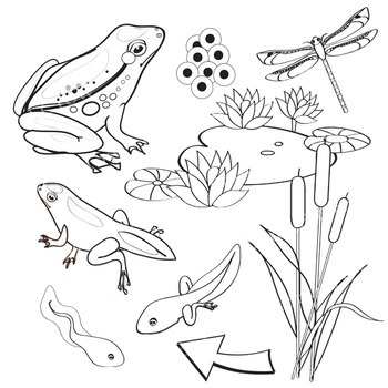 Frog Life Cycle Clip Art - 18 Piece Set - 5 Stages of Frog Development