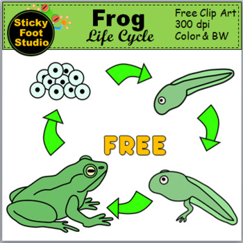 photo relating to Frog Life Cycle Printable named Frog Everyday living Cycle Clip Artwork - Science Clip Artwork