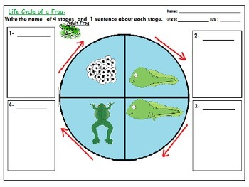 Frog Life Cycle Fact Worksheets: