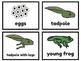 Frog Life Cycle Mini Unit