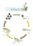 Frog Life Cycle - Poster, Counting Game, and Flipbook