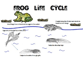 Tadpole Frog Life Cycle observation book