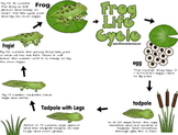 Frog Lifecycle Notebook {Preschool / Kindergarten / 1st / 2nd / 3rd / 4th grade)