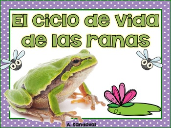 Frog Life Cycle in Spanish