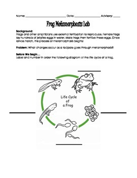 Frog Metamorphosis Lab