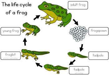 Frog life cycle  worksheet