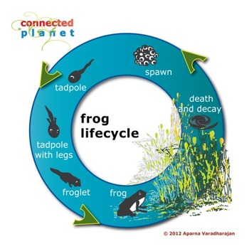 Frog lifecycle: a colorful chart