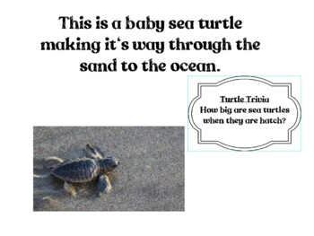 The Life Cycle of a Sea Turtle: Presentation