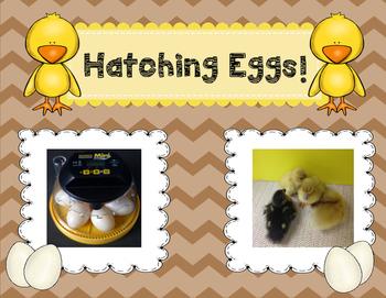Hatching Eggs!