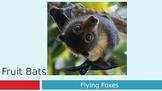Fruit Bats PowerPoint