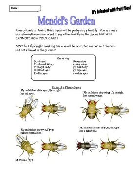 Fruit flies in Mendel's Garden!  Learning about genotypes and phenotypes