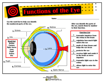 Functions and Anatomy of the Eye