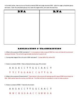 GENETICS worksheet, DNA and RNA, graphic organizer