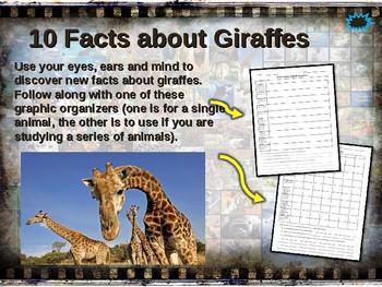 GIRAFFES: 10 facts. Fun, engaging PPT (w links & free graphic organizer)