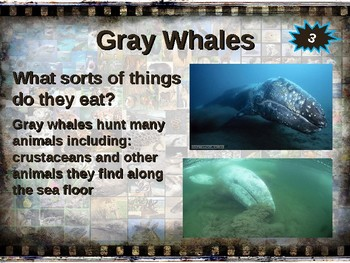 GRAY WHALES: 10 facts. Fun, engaging PPT (w links & free graphic organizer)