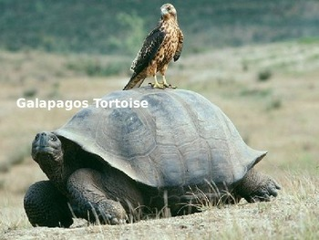 Galapagos Tortoise Power Point - Information Facts Picture