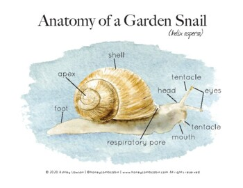 Garden Snail Anatomy by Honeycomb Cabin | Teachers Pay Teachers