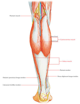 Gastrocnemius Muscle