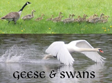 Geese & Swans.....(photos for commercial use)