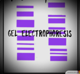 Gel Electrophoresis Amoeba sisters