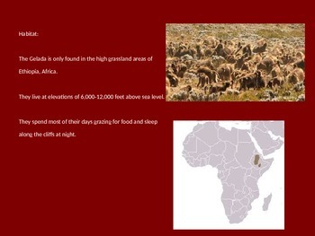 Gelada - Baboon - Power Point Information Pictures Facts