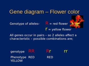 Genetic Crosses And How We Determine Them (Presentation/Handout)