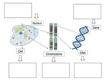 Genetic Model