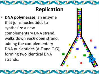 Genetics: DNA Replication, Translation, and Transcription Powerpoint Slide Show