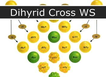 Genetics - Dihybrid Cross WS