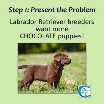 Genetics Project - The Inheritance of Coat Color in Labrador Retrievers