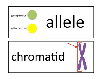Genetics Word Wall Cards