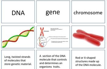 Genetics - matching review cards
