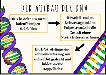 German Flashcards, Flash cards, Genetics, Genetik, Aufbau der DNA