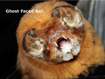 Ghost Faced Bat - Power Point - Information Facts Pictures