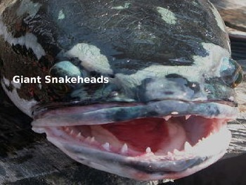 Giant Snakeheads - Power Point Information Pictures Facts