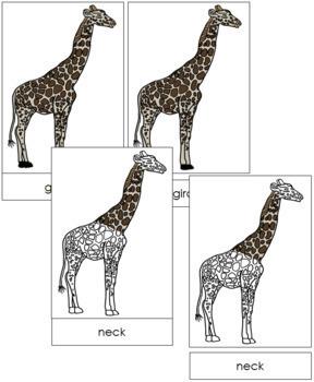 Giraffe Nomenclature Cards
