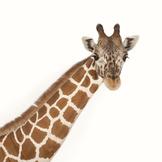Giraffe Virtual Lesson