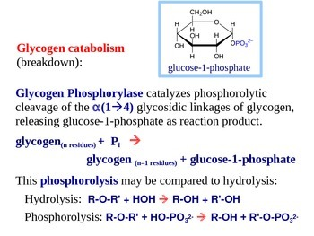 Glycogen Metabolism Explained (Handout / PPT Presentation)