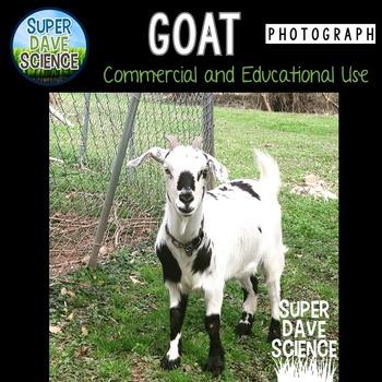 Goat Photograph
